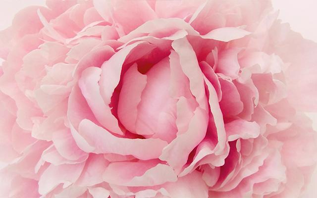 ピンクのお花を背景画像に